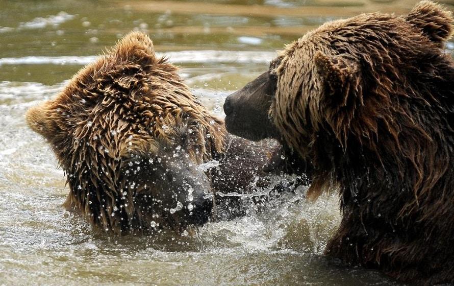 Bären toben im Wasser