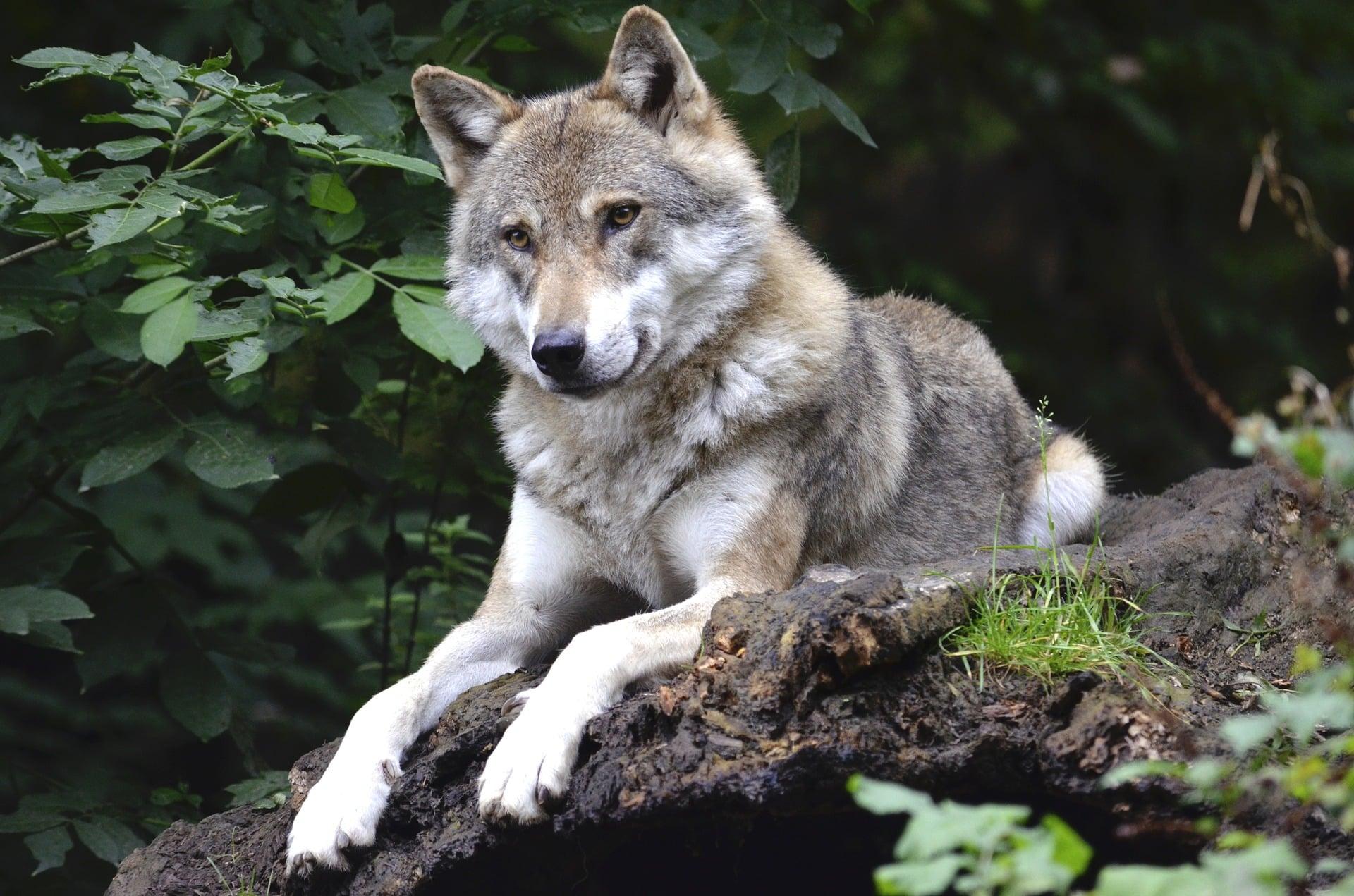 Wolf im Tierpark